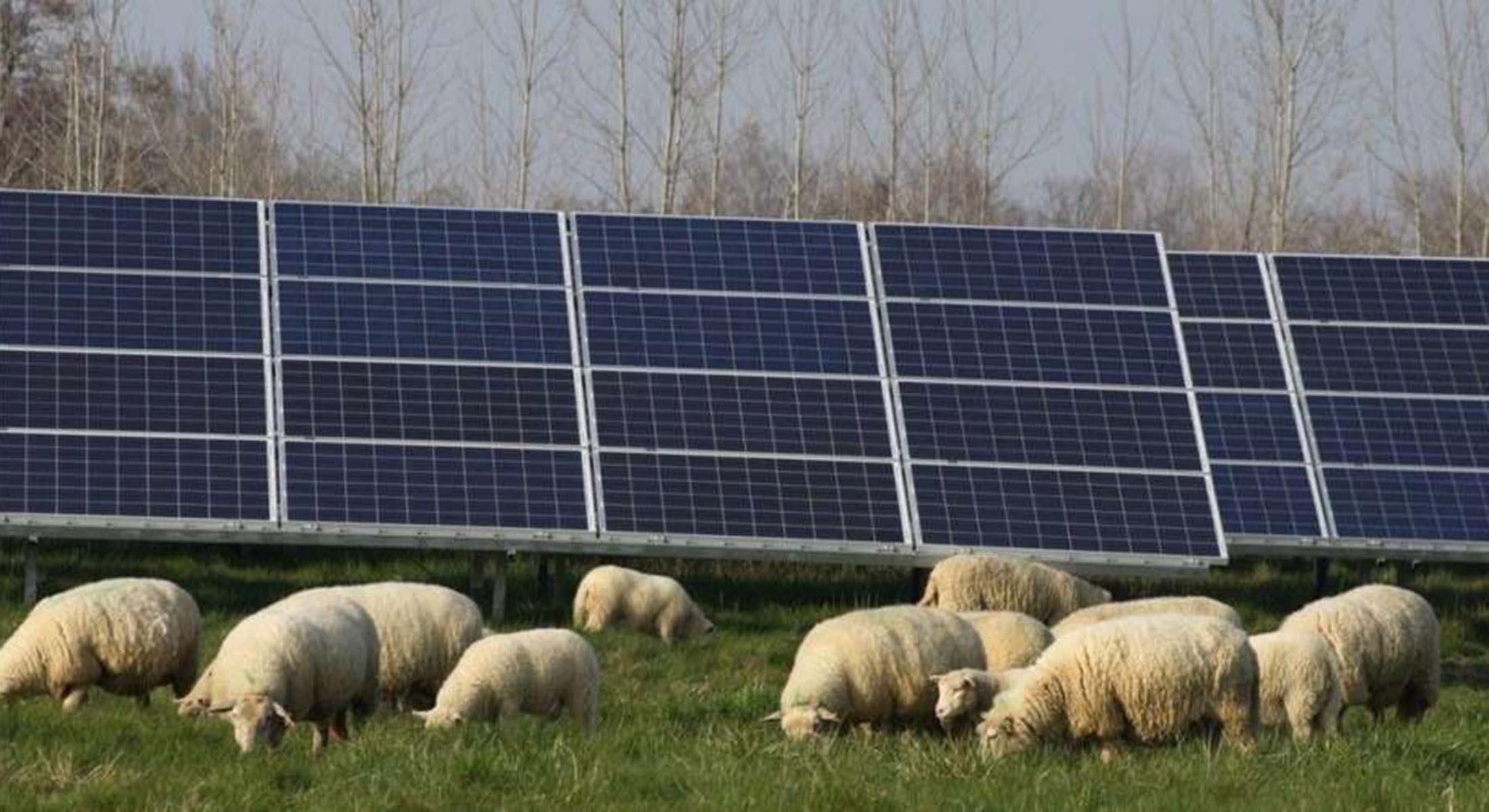 Des moutons à la Ferme solaire 113c813642f0